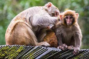 Hati-hati dengan Monyet di Zhangjiajie