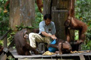 Pusat Rehabilitasi Orangutan Sepilok di Sabah