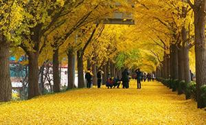 Ginkgo Tree Road Avenue