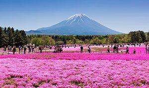 Fuji Shibazakura, Yamanashi
