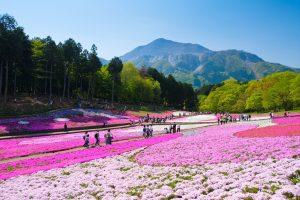 Ladang Bunga Phlox di Hitsujiyama Park, Saitama