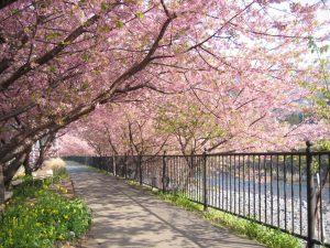Taman-Bunga-Sakura-jepang
