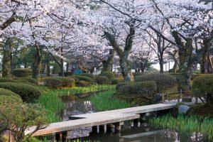 taman-bunga-sakura-di-jepang