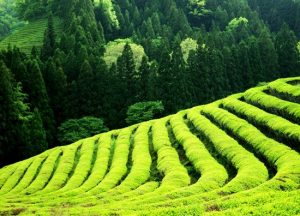 Boseong Green Tea Field Daehan Dawon