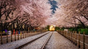 Gyeonghwa-Station-Cherry-Blossom-Road