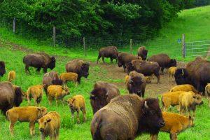 La Ferme de Bisons