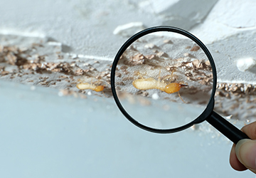 WDO and Termite Inspection by Evergreen Home Inspection - Home Inspection Merrimack Valley