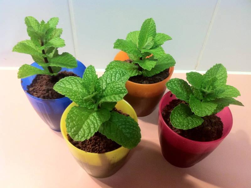 Mint plant home