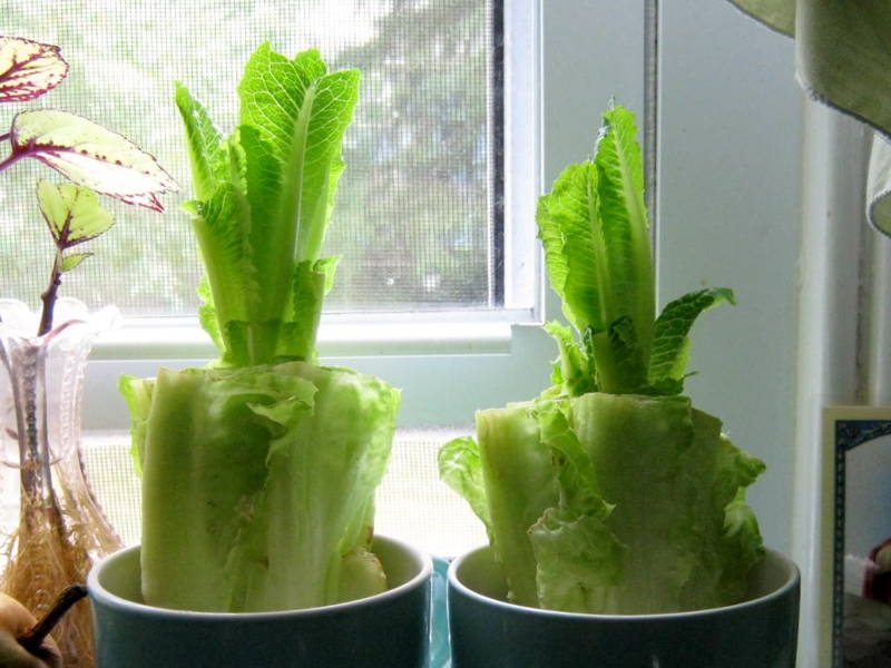 romaine lettuce home garden