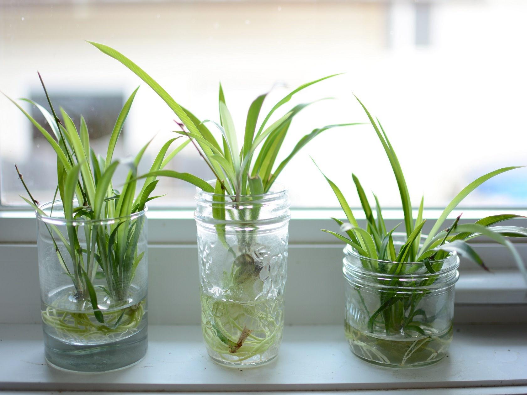 spider plant pots