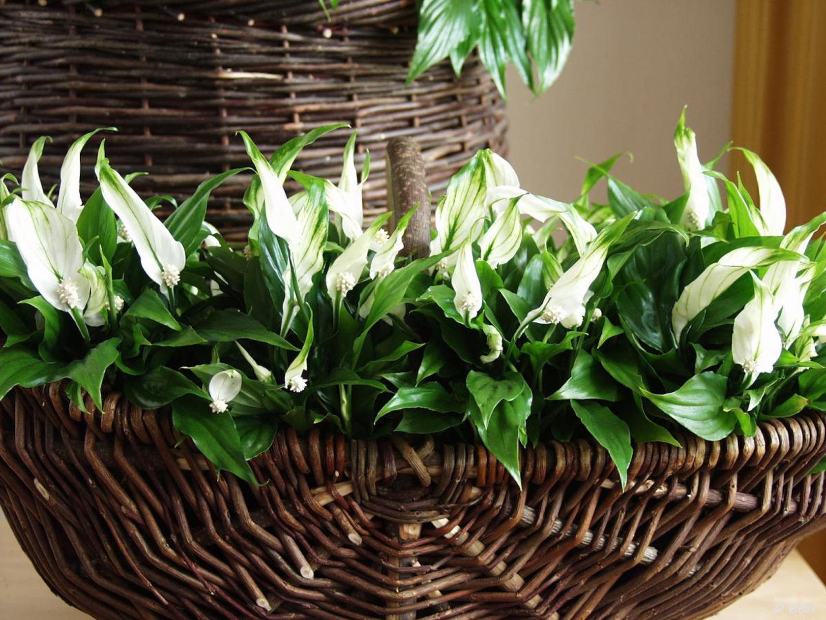 9 indoor plants you cant kill so easily atap peace lily basket izmirmasajfo