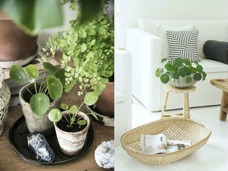 indoor potted money plants