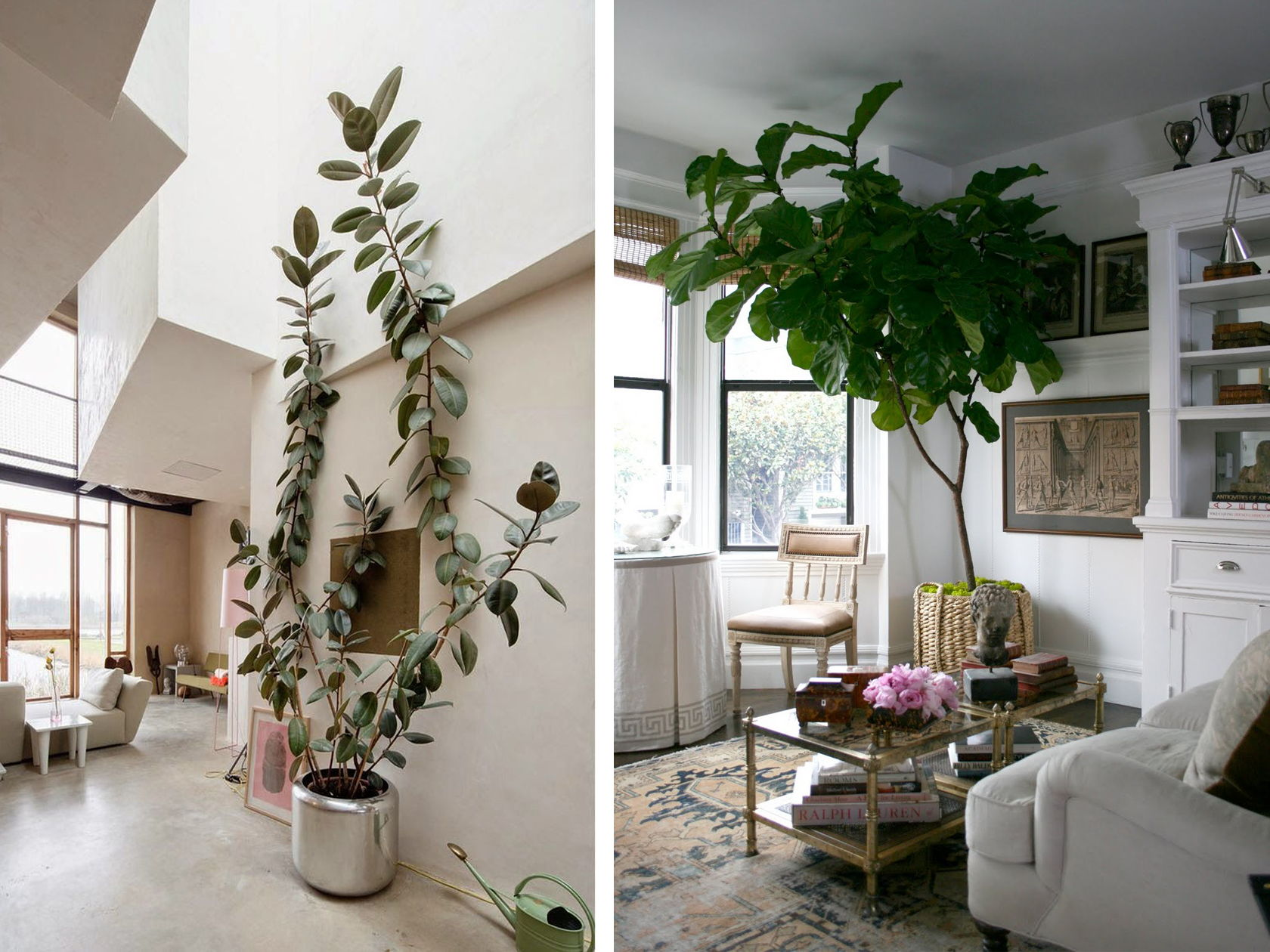 large rubber tree home