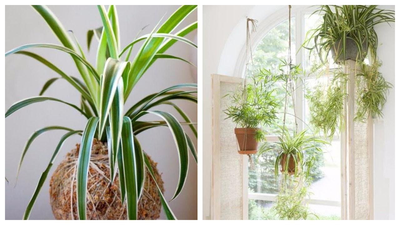 pinterest spider plant