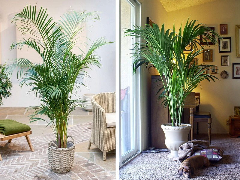 areca palm planter