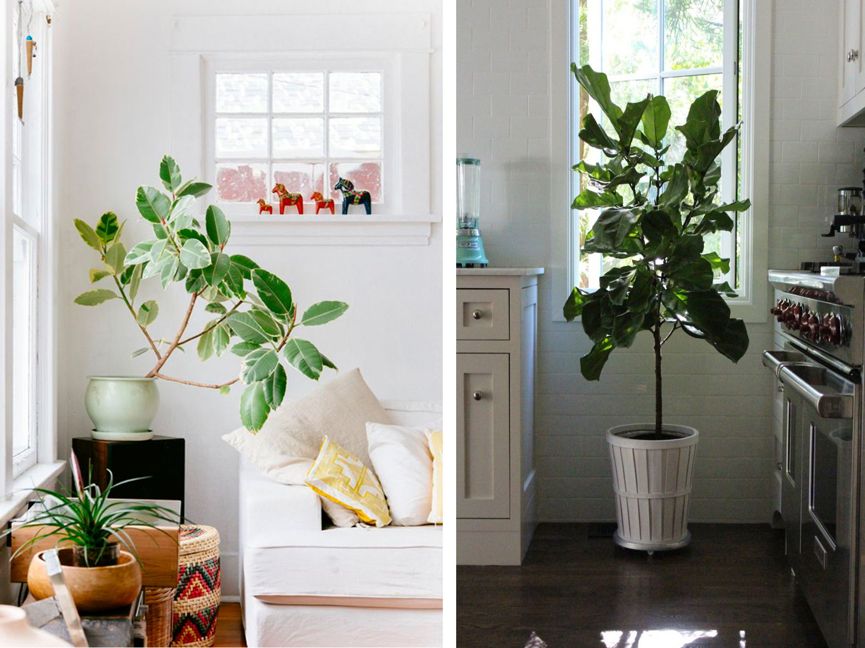 rubber tree planter