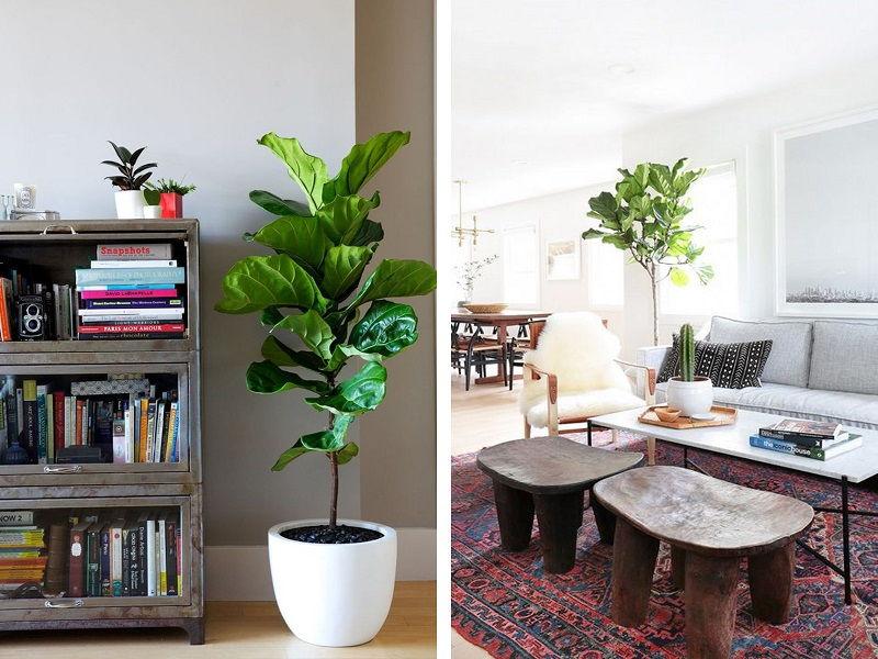 ficus plant home