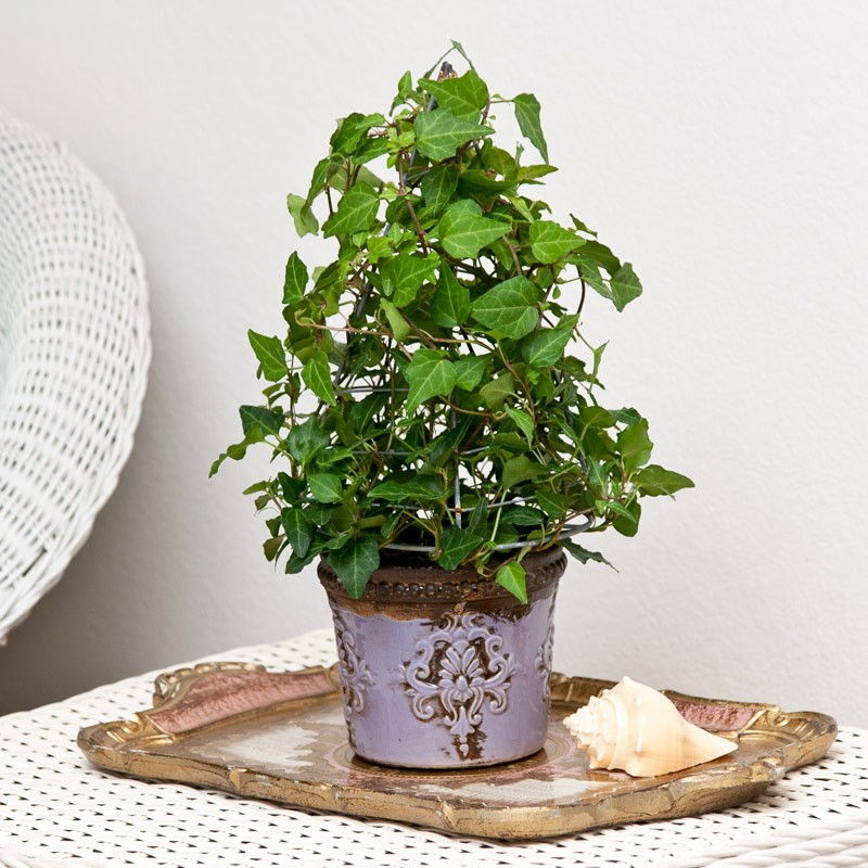 english ivy pot