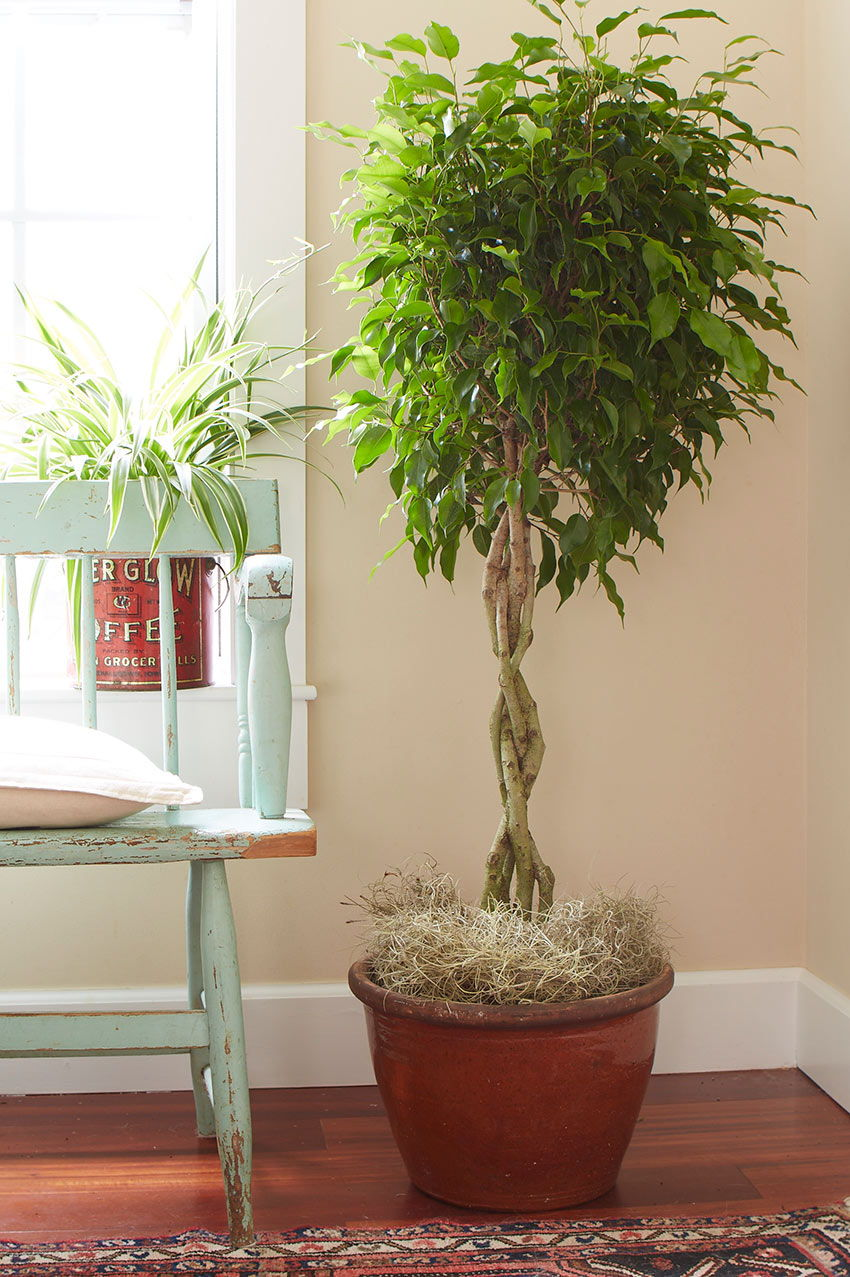 ficus pot home