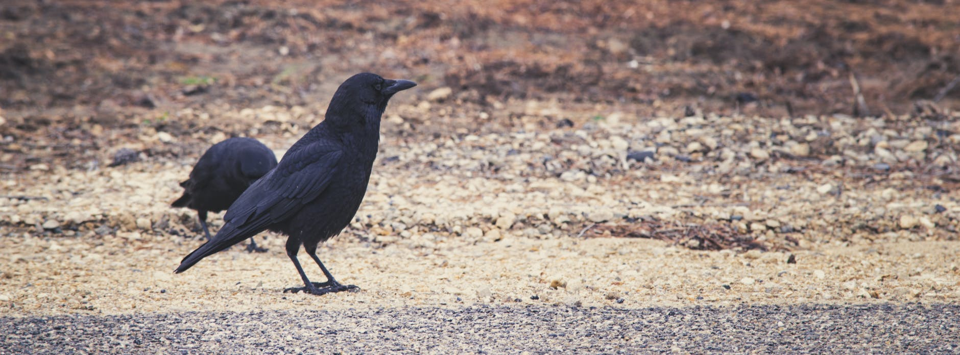 Why Did The Crow Die While Crossing The Road?