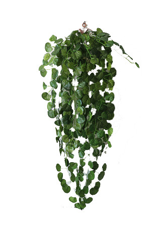 Hanging Money plant