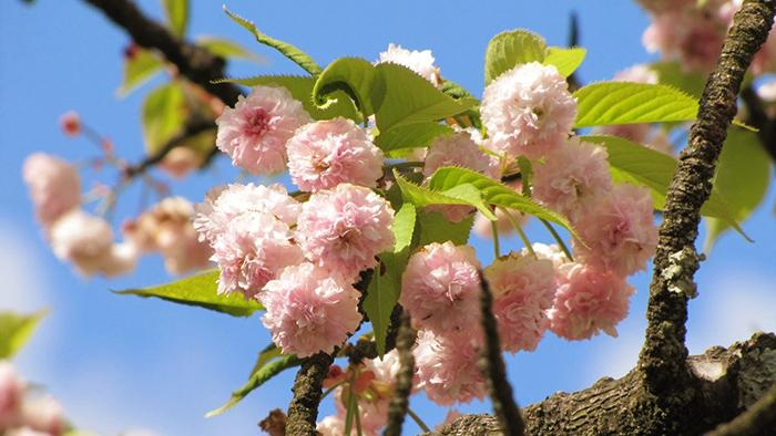 cherry-blossoms-japan-2019-kiki-zakura