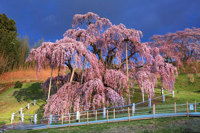 cherry-blossoms-japan-2019-miharu-takizakura