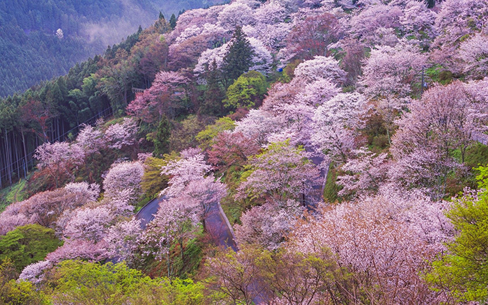 cherry-blossoms-japan-2019-mount-yoshino