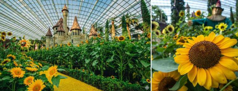 Love sunflowers? You can take photos with more than 10,000 sunflowers on display at Gardens by the Bay