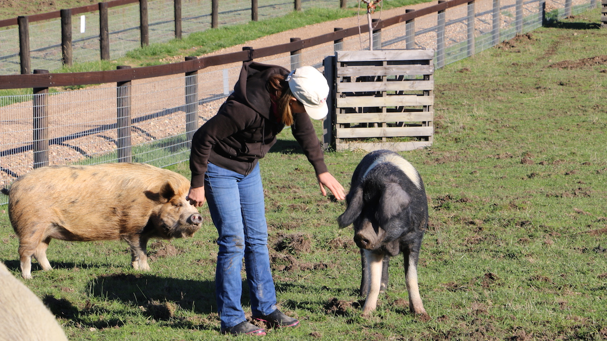 Pam Ahern and pigs at Edgar's Mission