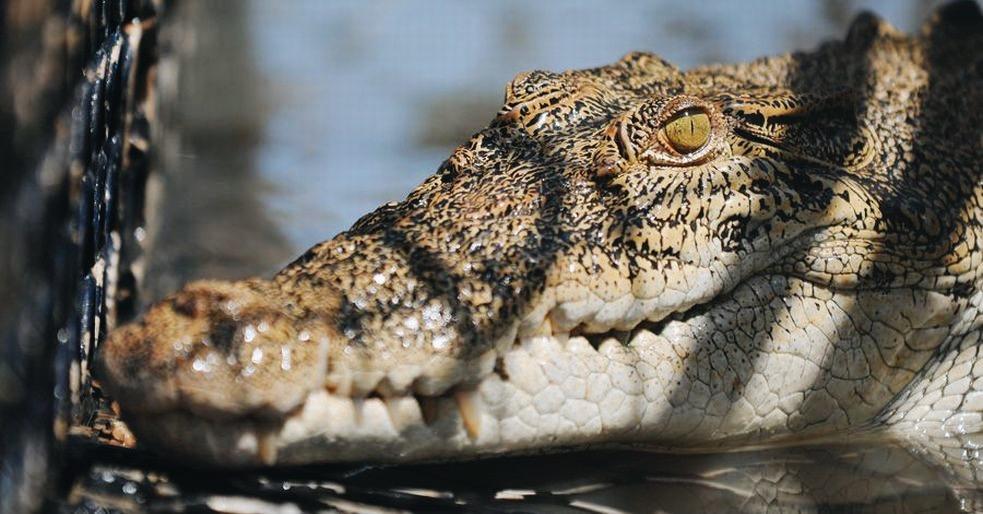 Salt water crocodile conservation