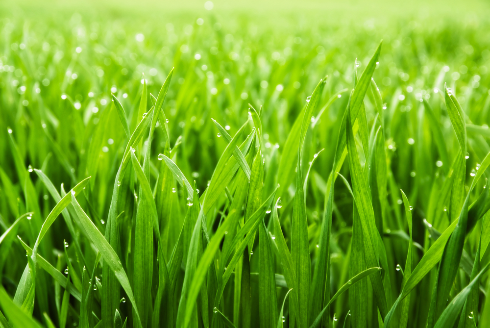 how to plant your own grass