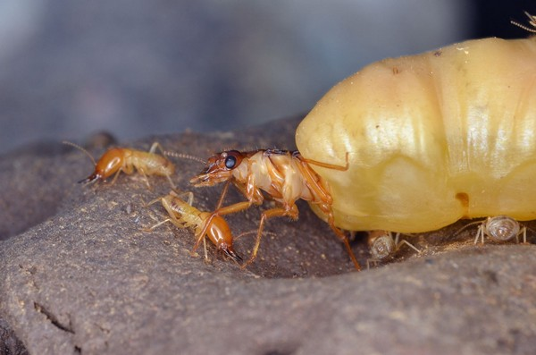 7 Things You May Not Know About Termites Queen Ant Laying Eggs