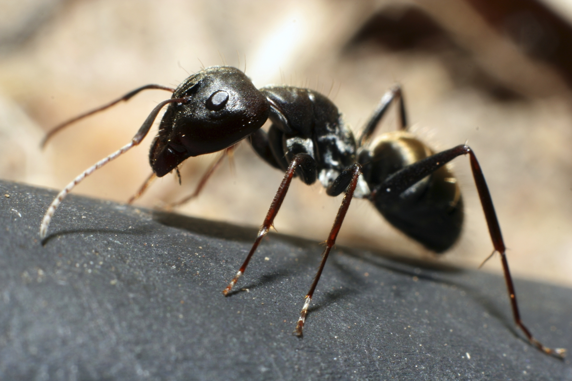 black ant up close