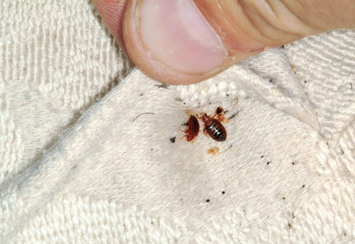 The Battle Against Bedbugs A Personal Journey Gawin
