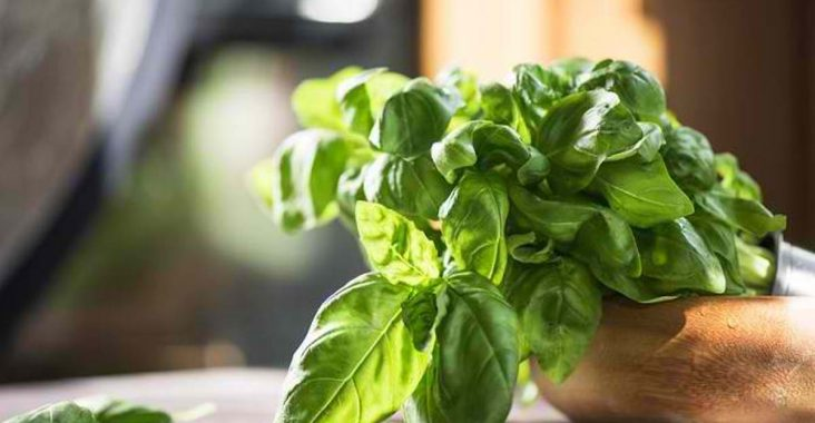 basil helps get rid of pests in the house