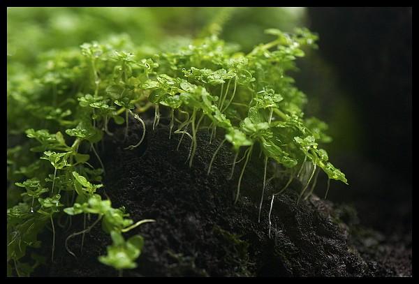 Trân châu Cu Ba đã bén rễ và phát tán