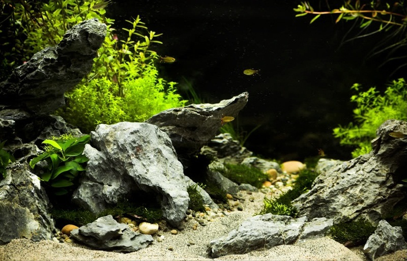 trồng rêu trong hồ thủy sinh