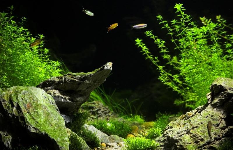 rêu phong hồ thủy sinh