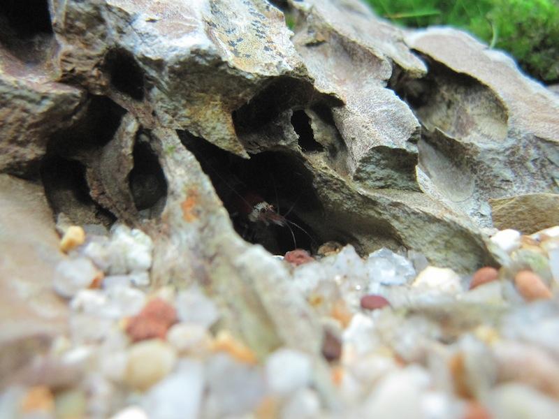 tép ong trong hốc đá tiger