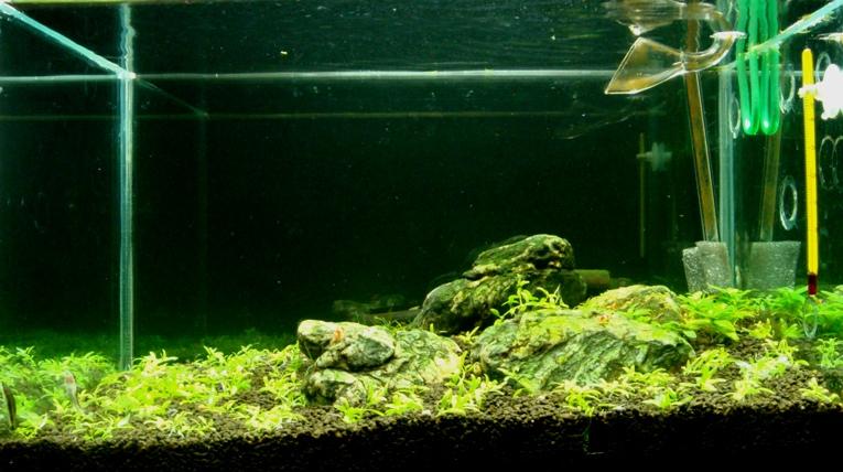 trồng đàn thảo tiền cảnh bể thủy sinh