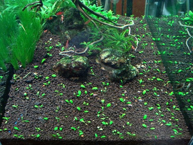 trồng trân châu Nhật bể thủy sinh