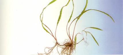cây thủy sinh tiêu thảo hẹp lá dài