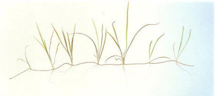 cây thủy sinh cỏ đỏ