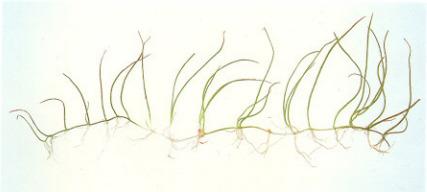 cây thủy sinh cỏ giấy