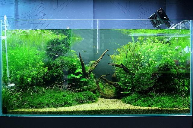 cây thủy sinh lớn nhanh