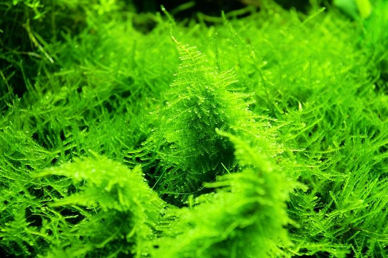 rêu thủy sinh mọc nhanh