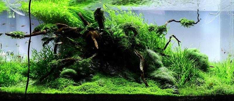 cây thủy sinh mọc nhanh