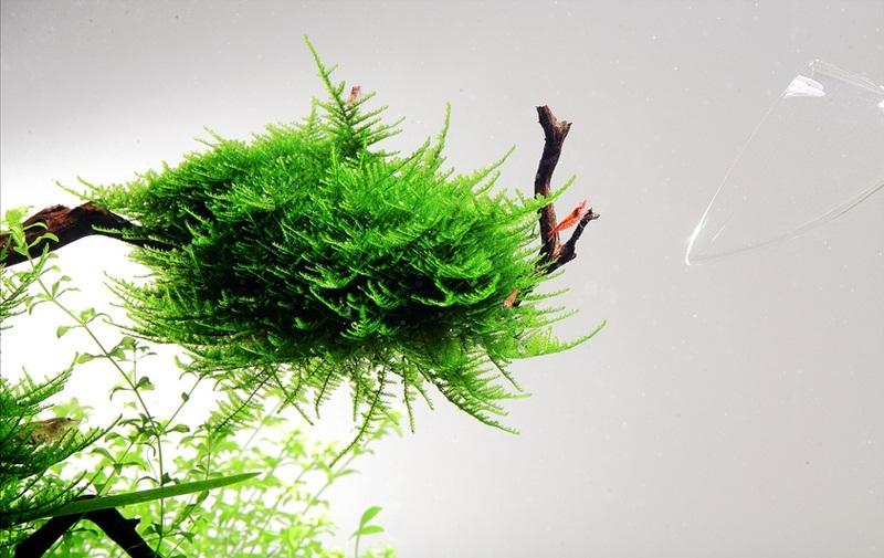 rêu mọc trên lũa