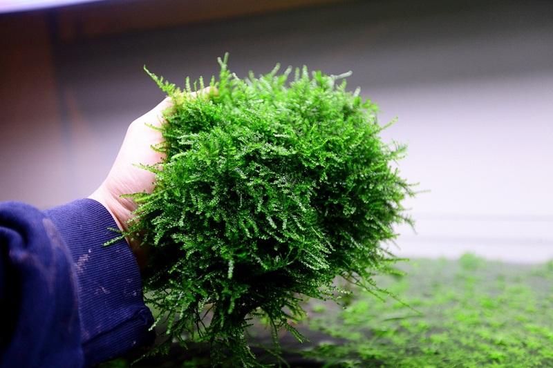 thu hoạch rêu thủy sinh